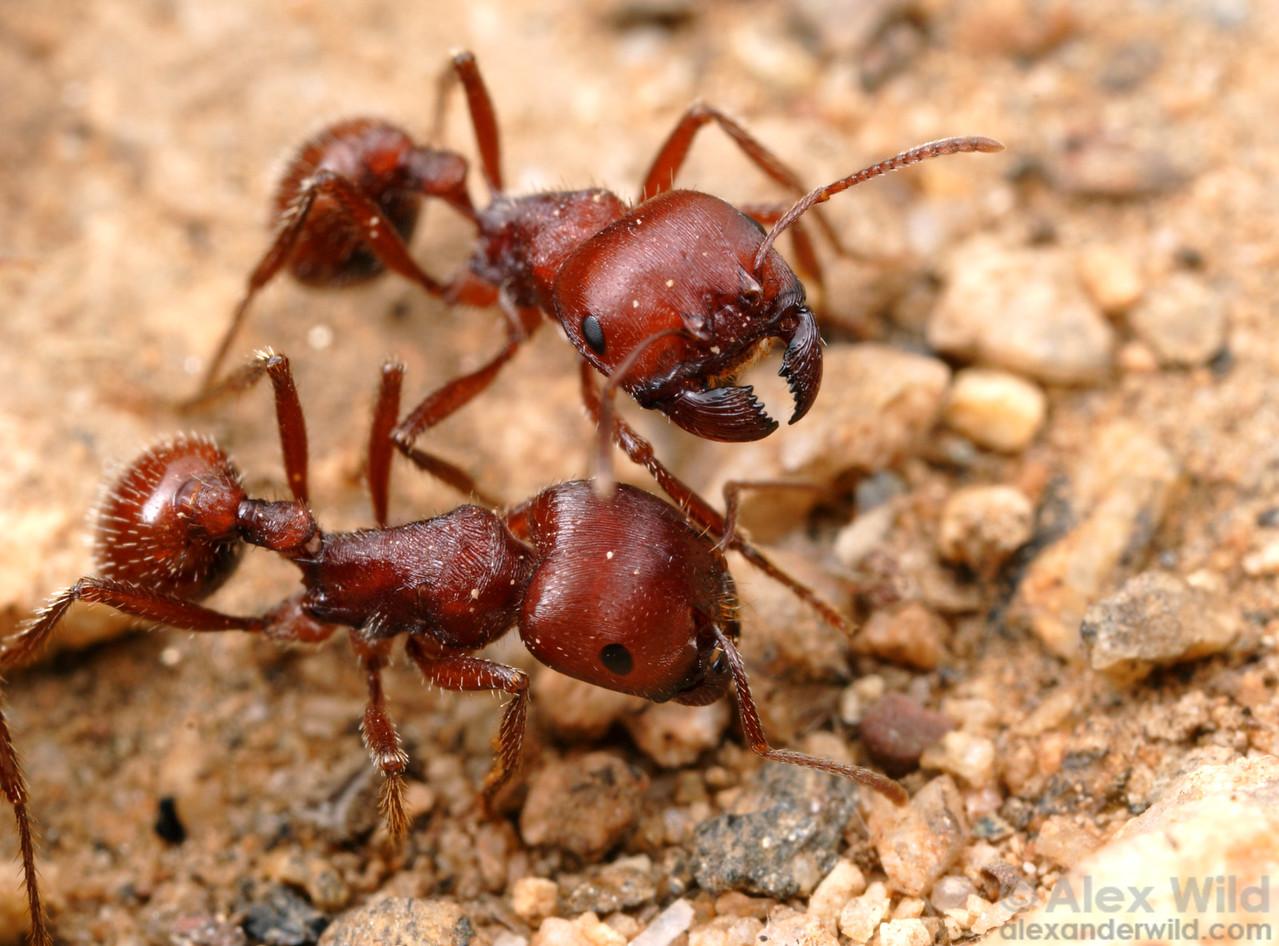 Pogonomyrmex barbatus red harvester ants, at the nest entrance.  Tucson, Arizona, USA