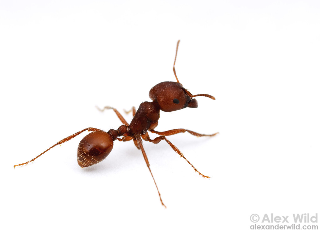 Pogonomyrmex barbatus  Portal, Arizona, USA