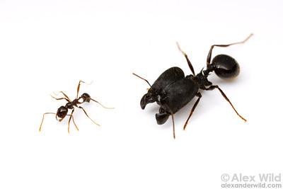 Minor and supermajor workers of Pheidole rhea, North America's largest Pheidole.  This species is a desert seed-harvesting ant.  Portal, Arizona, USA