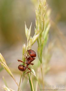 Pogonomyrmex desertorum.  Harvester ants sometimes climb up grass stalks to collect seeds.  Tucson, Arizona, USA