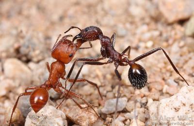 Pogonomyrmex maricopa & Novomessor albisetosa