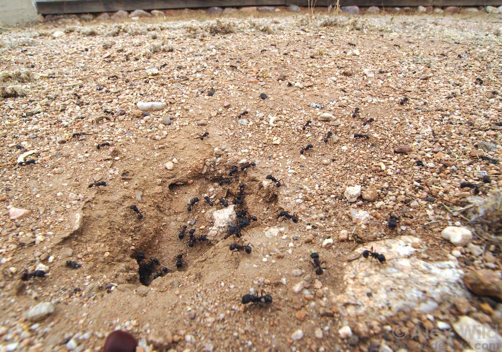 A busy nest of Pogonomyrmex rugosus harvester ants in urban Tucson.  Tucson, Arizona, USA