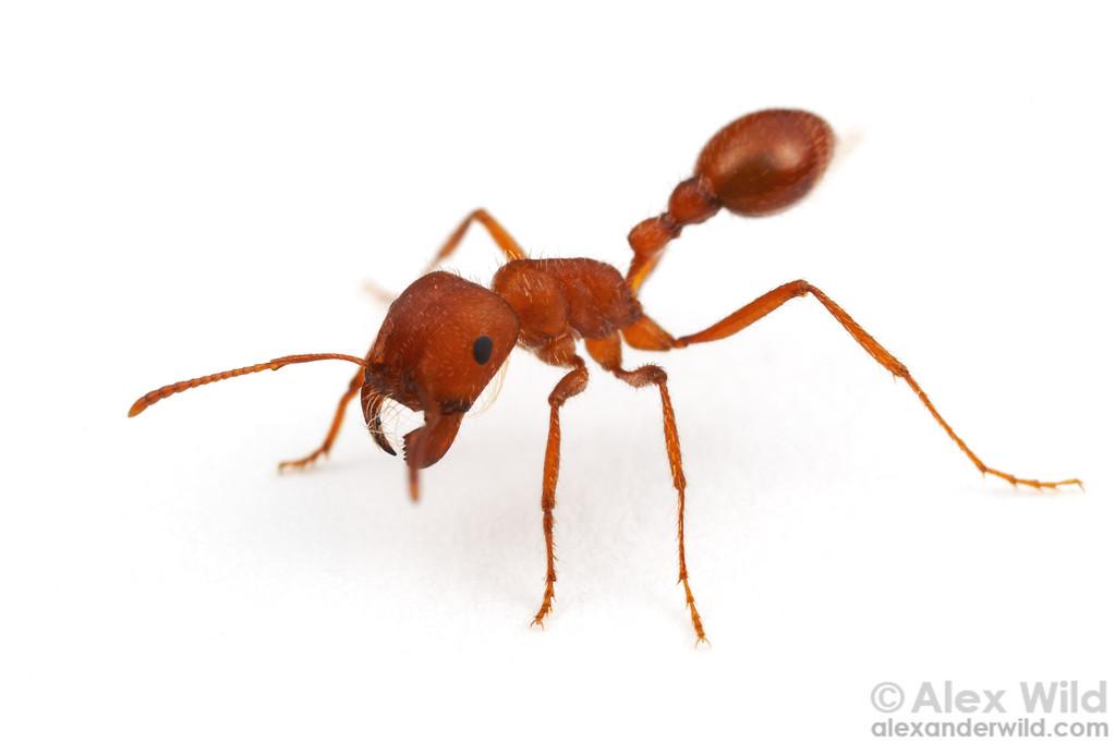 Pogonomyrmex maricopa, purportedly the animal with the most venomous sting in North America.  Tucson, Arizona, USA