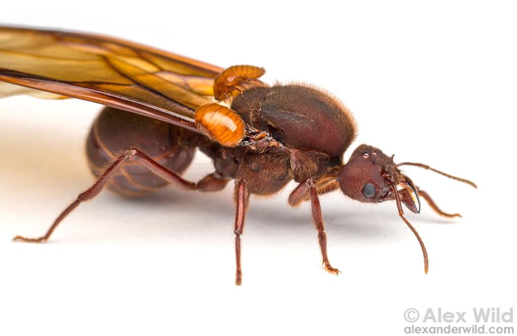 Attaphila fungicola & Atta texana