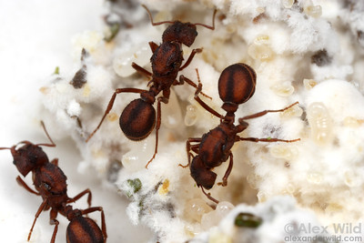 Acromyrmex versicolor foundress queens in an incipient fungus garden.  This species is normally polygynous during the colony founding stage, but reverts to single-queen colonies after the first workers emerge.  Tucson, Arizona, USA