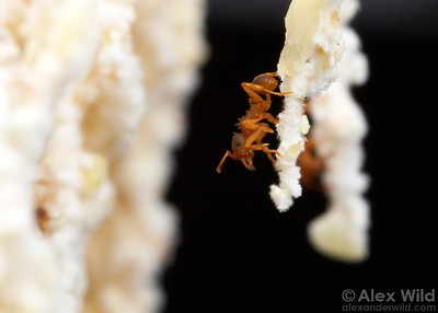 Inside the fungus garden of the asexual ant Mycocepurus smithii.  Panama