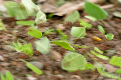 A busy highway of Atta cephalotes leafcutter ants carrying their bounty back to the nest.  Gamboa, Panama