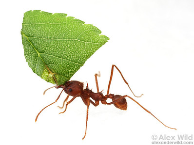 A Texas Leafcutter Ant (Atta texana) carries a cut leaf.  Ants do not eat the leaves directly; rather, they use to leaves to feed an underground fungus that serves as the ants' primary food source.  Austin, Texas, USA