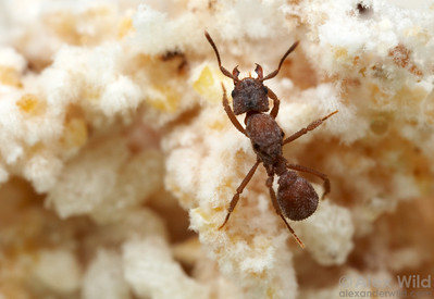Trachymyrmex turrifex queen in the fungus garden.  Austin, Texas, USA