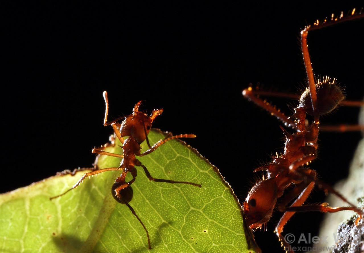 Atta cephalotes leafcutter ants, minor worker riding a leaf.  Maquipucuna reserve, Pichincha, Ecuador