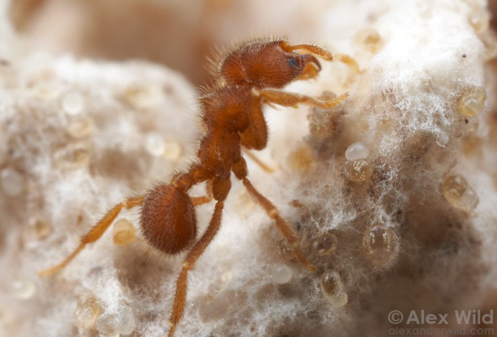 Sericomyrmex amabilis. An ant worker tends to brood in the fungus garden.  Note how the eggs and larvae are embedded within the fluffy white hyphae of the fungus.  Parque Soberania, Panama; Laboratory colony at the University of Texas