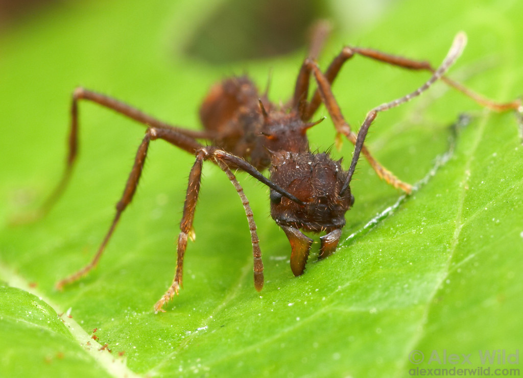 Acromyrmex coronatus, cutting through a leaf.  Panamá