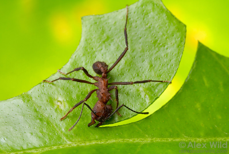 An Acromyrmex niger leafcutter ant worker makes a characteristically circular cut in a citrus leaf.  Monte Verde, Minas Gerais, Brazil