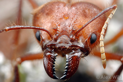 Atta cephalotes, close-up of the head of a soldier.  The sharp mandibles of this ant can easily slice through skin, so handle these ants with care!  Captive colony at the California Academy of Sciences