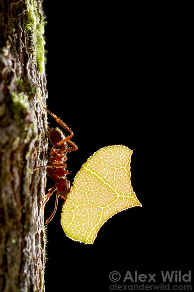 In a remnant of Brazil's once-great Atlantic coastal rainforest, an Acromyrmex disciger leafcutter ant carries a leaf back to her nest. The forest where these ants live has been 95% destroyed by human activities.  Morretes, Paraná, Brazil