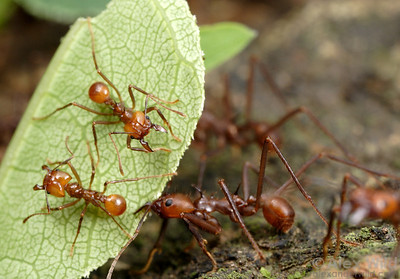 Atta cephalotes. Ants carrying leaves are vulnerable to attack by parasitic phorid flies.  To help prevent attacks, small guard workers often ride atop the cut vegetation, mandibles open in defensive posture.  Intriguingly, hitchhiking is only seen in regions inhabited by the flies. Outside the geographic range of the parasites, leafcutter ants do not show this leaf-riding behavior.  Gamboa, Panama