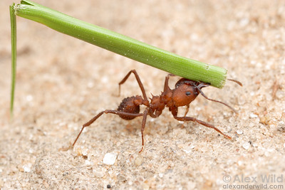 An Acromyrmex balzani worker carries a grass stem back to her nest. Leafcutter species tend to specialize on either broadleaf plants or grasses.  Entre Rios, Argentina