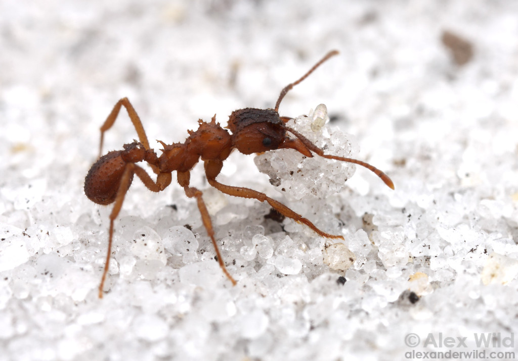 Trachymyrmex septentrionalis worker carrying sand excavated from deep in the nest.  Archbold Biological Station, Florida, USA