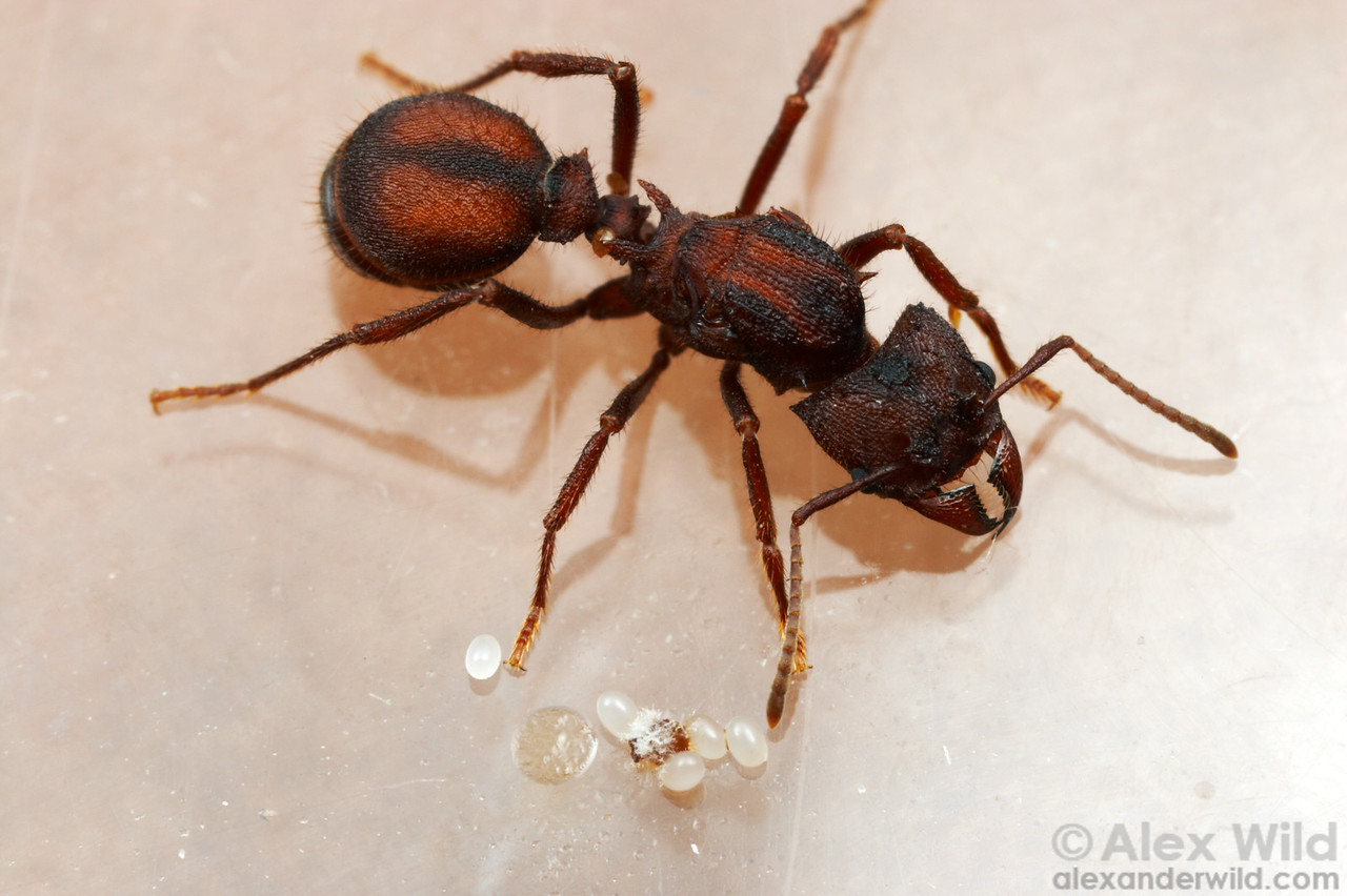 A young leafcutter ant queen (Acromyrmex versicolor) with her eggs and incipient fungus garden.  Tucson, Arizona, USA