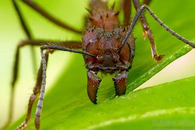 Acromyrmex niger