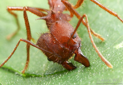 Atta texana. Ants slice through leaves using a repeated scissoring motion, where the leading mandible (on the right) is anchored into the leaf and pulls the trailing mandible to make the cut.   Austin, Texas, USA