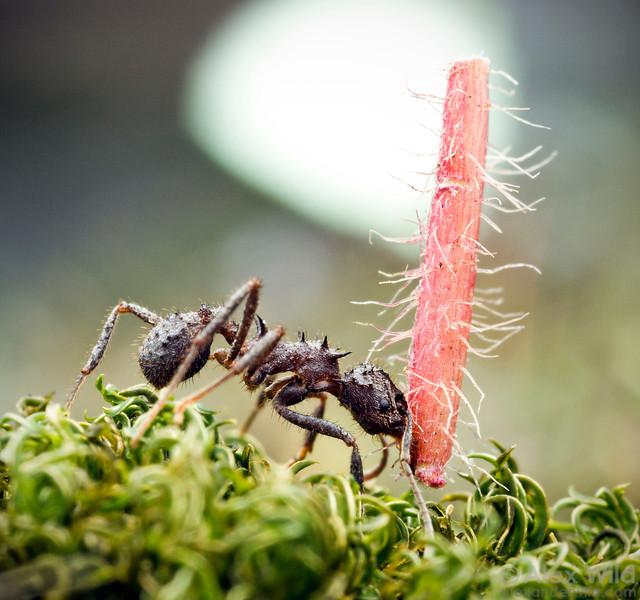 Acromyrmex crassispinus  Curitiba, Paraná, Brazil