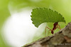 Farming Ants: Leafcutters and Fungus Growers : Farming Ants: Leafcutters and Fungus Growers Hundreds of ant species live as farmers in the warmer regions of North and South America.  These insects- a single evolutionary radiation- cultivate an edible fungus fed with bits of vegetative debris, or in the case of the leafcutter ants, with live vegetation.