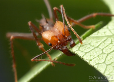 A media worker of Atta cephalotes finishes off a cut.  Captive colony at the University of Texas