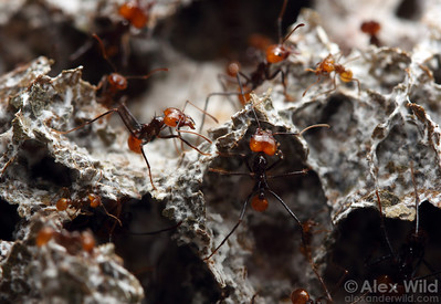 In a laboratory nest, Atta cephalotes leafcutter ants tend to their fungus garden.  University of Wisconsin at Madison