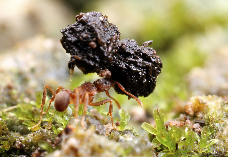 An ambitious Cyphomyrmex forager carries a piece of insect frass back to the nest. These ants feed exclusively on a fungus that grows on the bits of detritus they gather.  Mindo, Ecuador