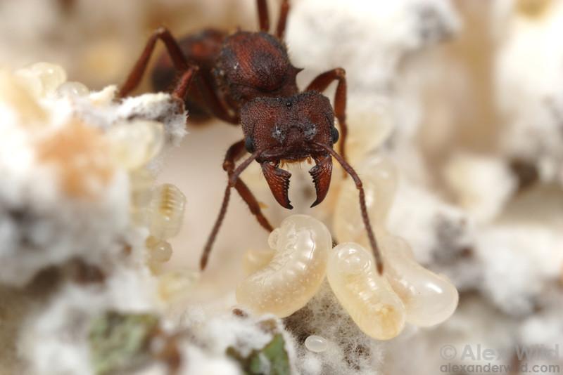 A Desert Leafcutter queen (Acromyrmex versicolor) tends to larvae in an incipient fungus garden.  Tucson, Arizona, USA