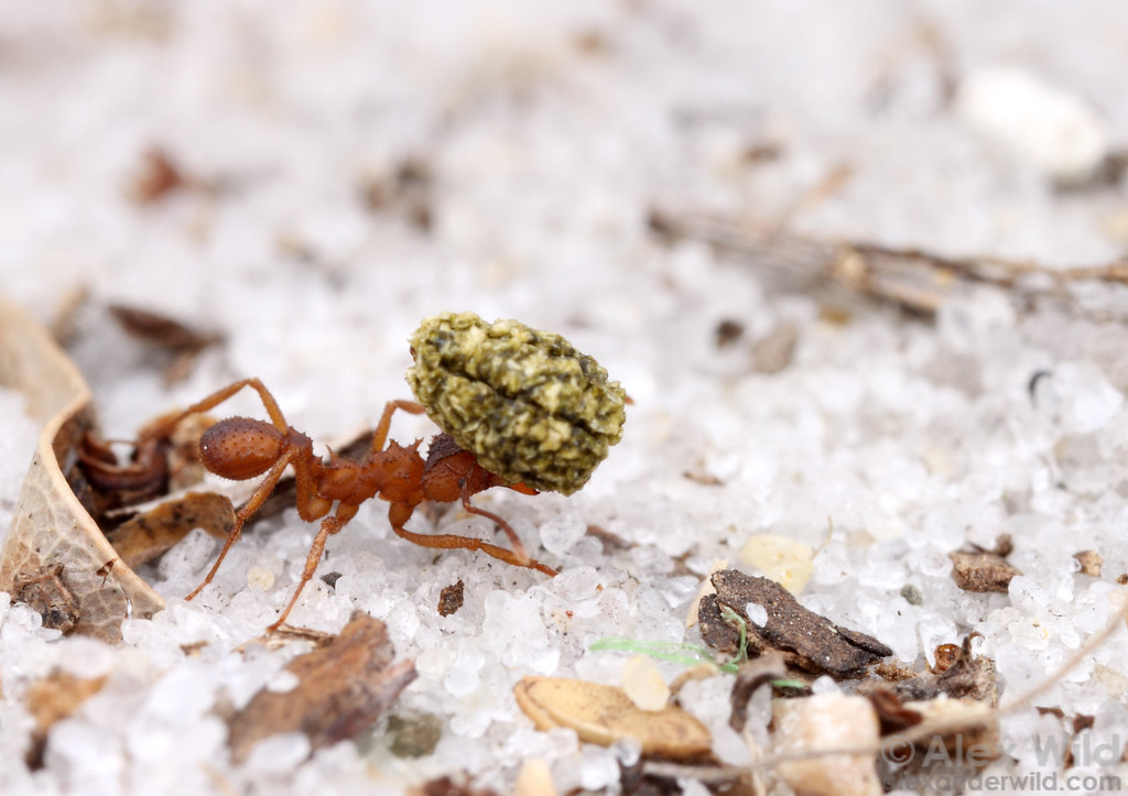 Trachymyrmex septentrionalis. Fungus-growing ants use a variety of substrates to nourish their cultivars, but caterpillar frass is one of the richest.  Archbold Biological Station, Florida, USA