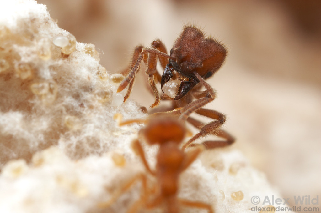Sericomyrmex amabilis. A fungus-growing ant worker carefully tends to a larva.  Note the other ant eggs and larvae that are embedded within the fluffy white hyphae of the fungus garden.  Parque Soberania, Panama; Laboratory colony at the University of Texas