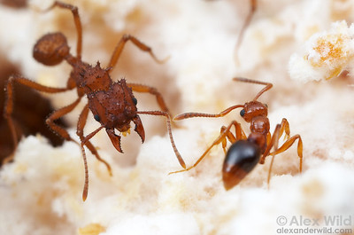 Uneasy relationship: a Trachymyrmex fungus-growing ant (left) encounters a Megalomyrmex adamsae that is a parasite of her nest.  Panama; captive colony at the University of Texas