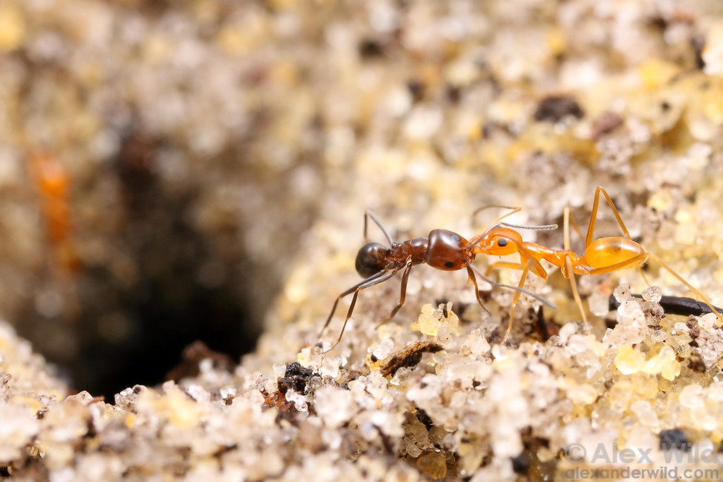 Dorymyrmex reginicula (at left), a socially parasitic species, is harassed by a worker of its host Dorymyrmex elegans.  Workers of the two species coexist in a single nest for a period after the parasite queen has assumed reproduction and before the last remaining host workers die off.  The transition period is not entirely smooth, as evidenced by this aggressive interaction.