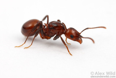 Portrait of a social parasite, Aphaenogaster tennesseensis.  Urbana, Illinois, USA