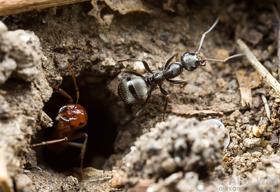 At the entrance of a Polyergus mexicanus slave-raiding ant colony, a Formica subsericea worker carries excavated soil from the nest. The parasitic Polyergus workers do not perform those sorts of tasks.  Urbana, Illinois, USA