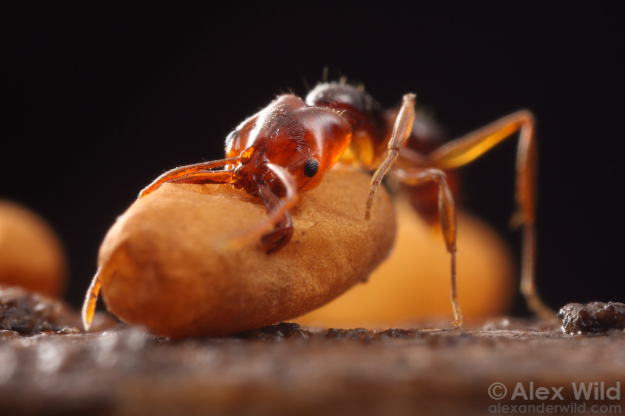 Anochetus paripungens. Although the trap-jaw ant's mandibles are designed for predation, they must also serve domestic duty. Here, a worker ant transports a pupa.  Northern Territory, Australia