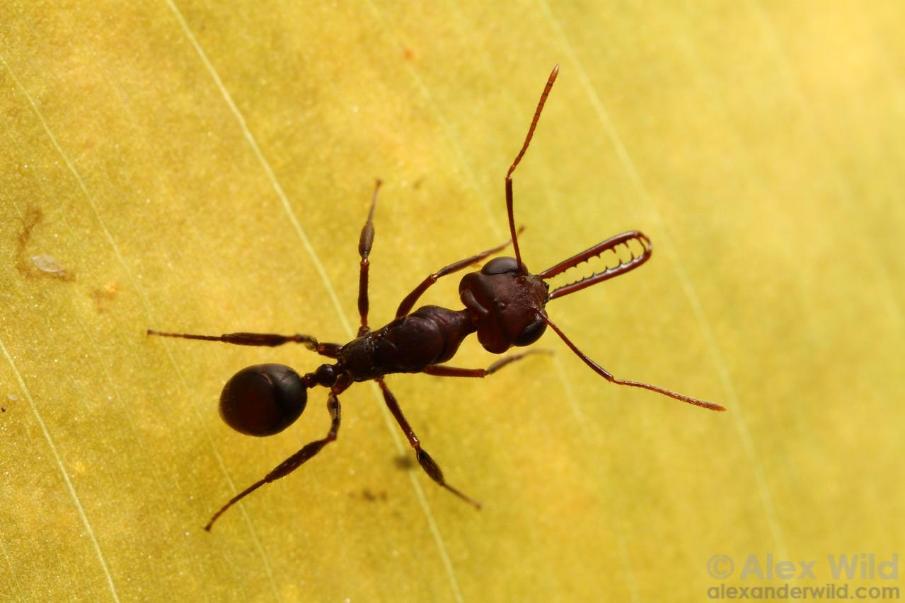 Myrmoteras iriodum is trap-jaw ant in the subfamily formicinae.  Danum Valley Field Centre, Sabah Borneo