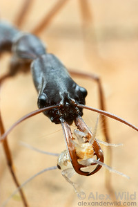 Caught!  A small cricket is impaled on the mandibles of a malagasy trap-jaw ant, Odontomachus coquereli.  Madagascar