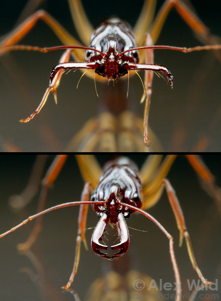 Odontomachus rixosus trap-jaw ant with mandibles in the open (top) and closed (bottom) positions.   Cambodia (laboratory colony at the University of Illinois)