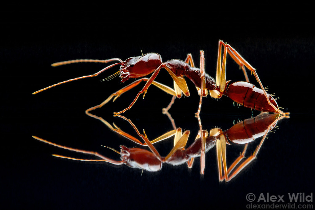 Portrait of the trap-jaw ant Odontomachus rixosus with her jaws open. Note the forward-facing trigger hairs.  Cambodia (laboratory colony at the University of Illinois)