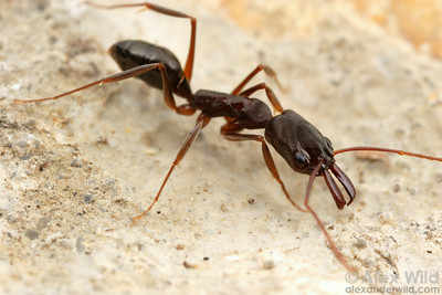 Odontomachus brunneus is the common trap-jaw ant along the gulf coast of the southern United States.  Elsanor, Alabama, USA