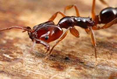 Anochetus paripungens trap-jaw ant. Note the trigger hair projecting forward from the head. When the trigger is touched, this ant's jaws slam shut with an audible snap.  Northern Territory, Australia