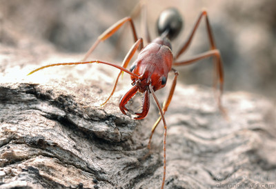 Odontomachus turneri, northern trap-jaw ant.  Darwin, Northern Territories, Australia