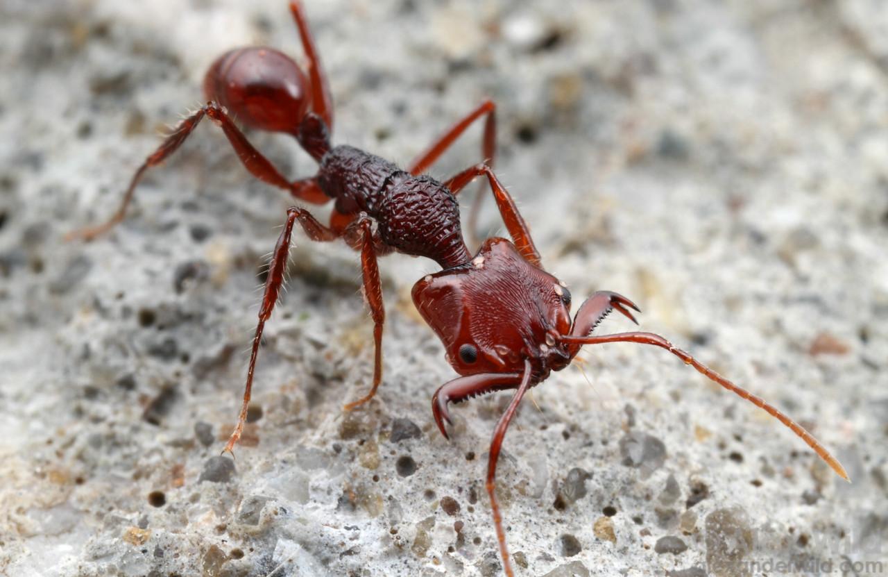 Anochetus trap-jaw ant  Danum Valley Field Centre, Sabah Borneo