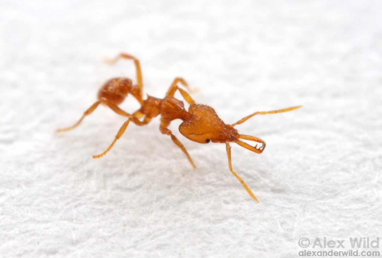 Strumigenys rogeri, an African species of miniature trap-jaw ant that has spread around the world with human commerce.  Archbold Biological Station, Florida, USA
