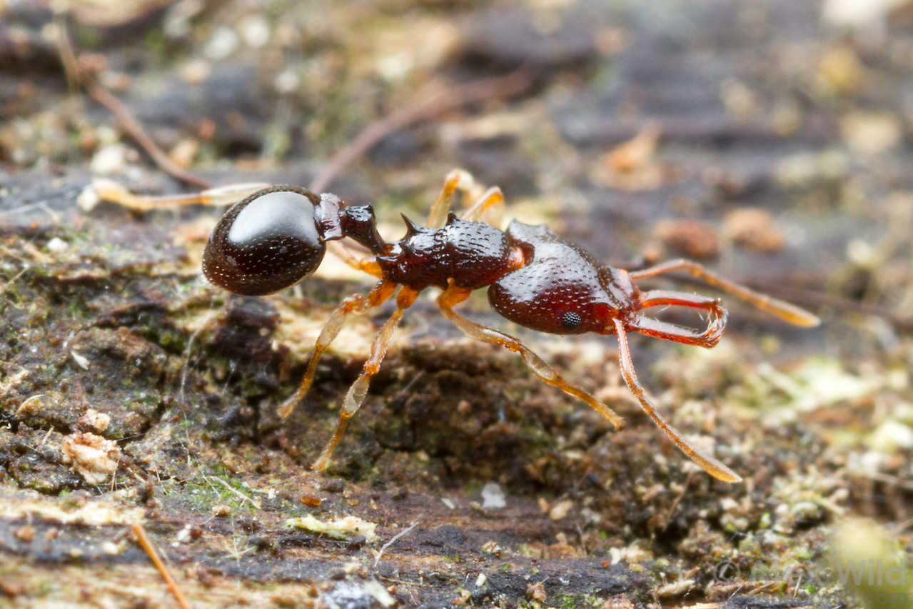 Microdaceton sp.  Kibale forest, Uganda