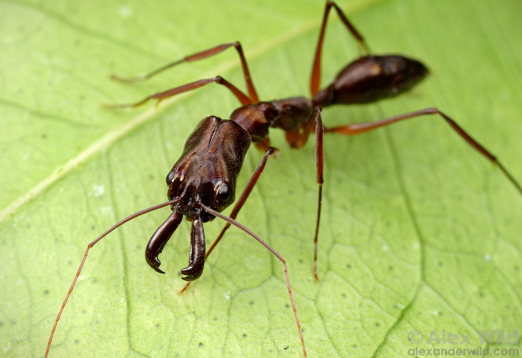 Odontomachus chelifer is the largest trap-jaw ant species in South America.  Aragua, Venezuela