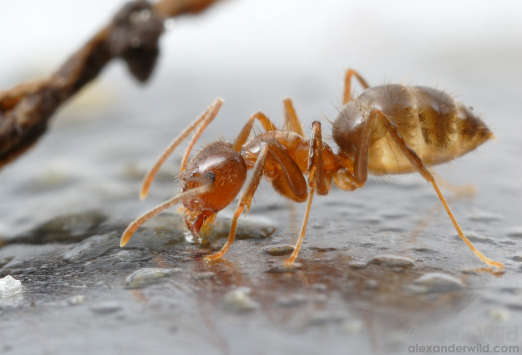 Paratrechina fulva is a southern South American crazy ant species that has become a pest where introduced into Colombia.  Buenos Aires, Argentina